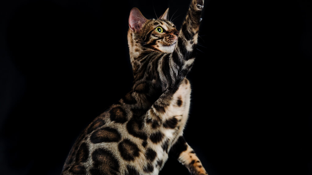 Craidero de Gato Bengalí