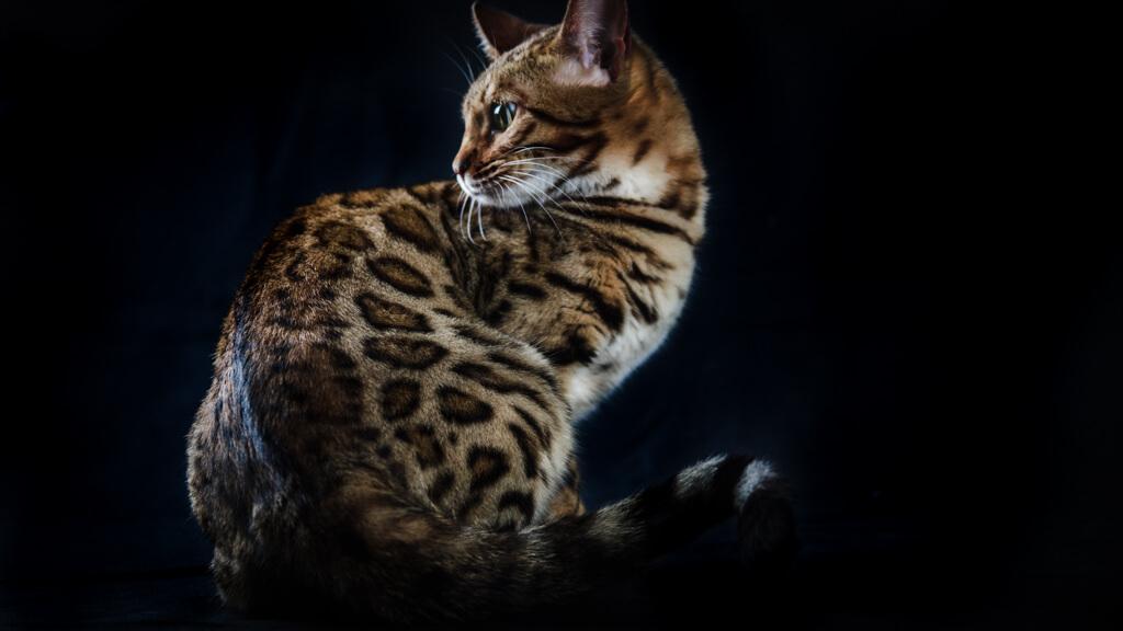 criador gato barcelona