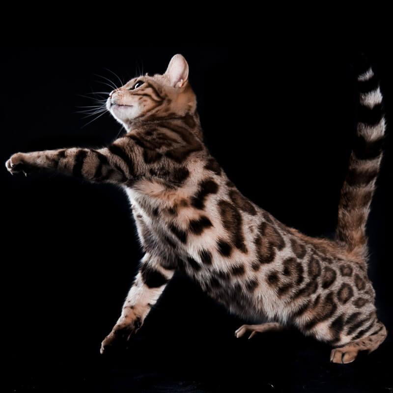 gato vengala