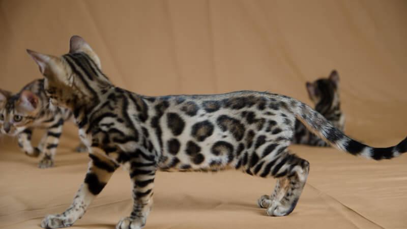 gato bengali lepardland