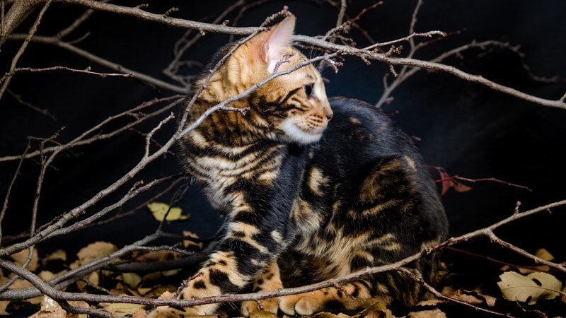 criadores gatos