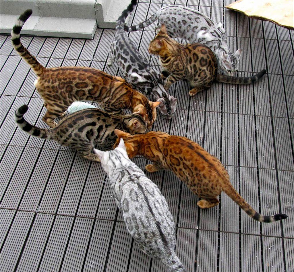 Colores del Gato Bengalí