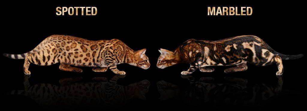 tipos de gato bengalí