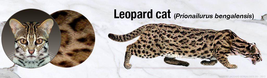 Gato bengalí leopardo asiático