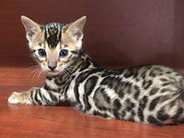 comprar gato leopardo
