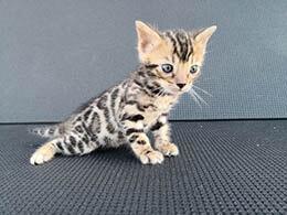 gato leopardo precio