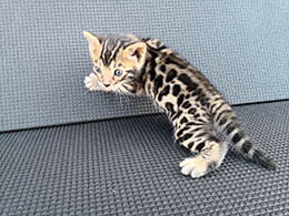 gato savannah comprar