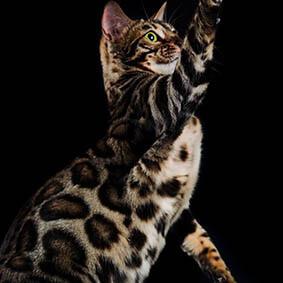 criadero gato bengalí