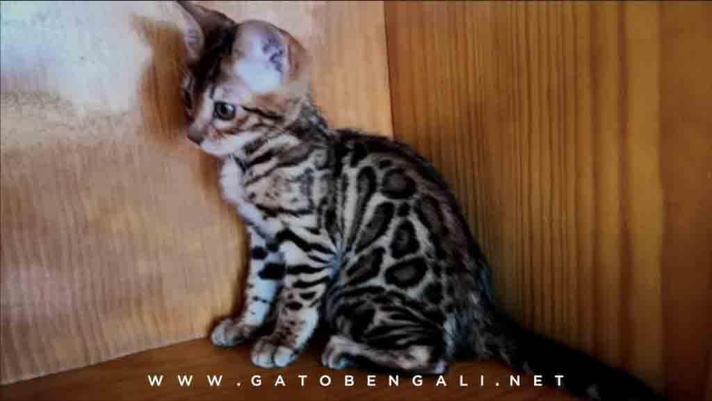 gato bengali venta
