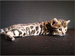 criadero gato barcelona