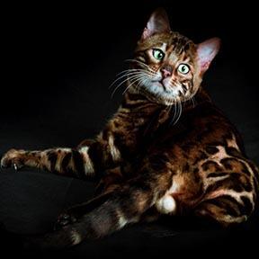 gato bengali macho