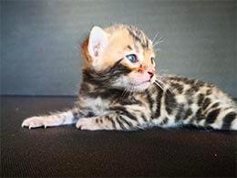 comprar gato atigrado