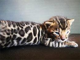 comprar gato bengali valencia