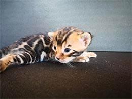 gato bengali marble precio