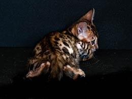 comprar gato bengal malaga