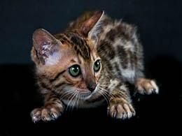 gato bengala gratis