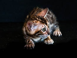 comprar gato bengali canarias